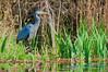 Great Blue Heron fishing, Lake Washington