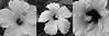 three hibiscus
