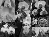 orchid collage bw