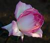 rose IMG_1935