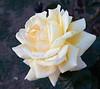 rose IMG_1940