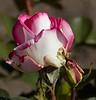 rose IMG_1965