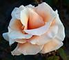rose IMG_1952