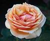 rose IMG_1942