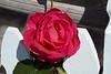 rose IMG_2007