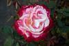 rose IMG_1933