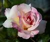rose IMG_2039