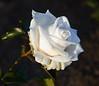 rose IMG_1932_1