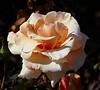 rose IMG_1967
