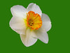 white daffodil on green