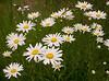 daisies6351