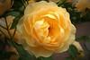 rose6737
