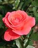 rose_7297