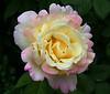 rose_6937