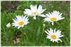 daisies6260