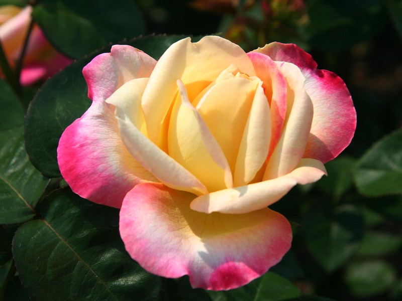 rose_7299