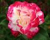 rose6939