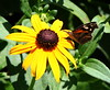 blackeyed susan6175