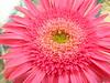 pink gerbera6338