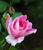rose_1060