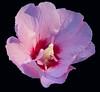 rose of sharon_7128