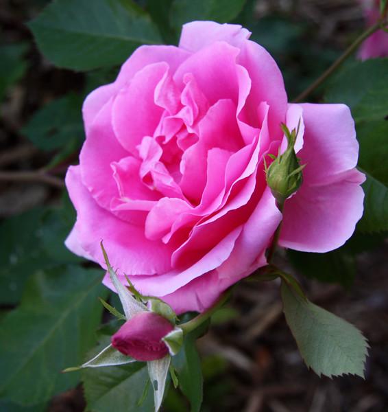 rose_0957