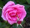 rose_0961