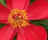red flower4230