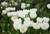 white tulips4272