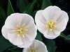 white tulips4268