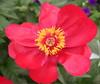 red flower4232