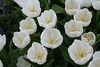 white tulips4264
