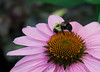 bee on coneflower2