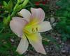 daylily7612