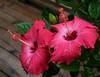 hibiscus pair
