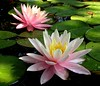 waterlilies045