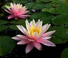 water lilies 63