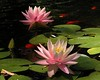 two water lilies10