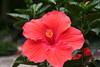 hibiscus4937
