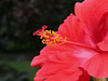 red hibiscus_7929