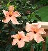 hibiscus5078