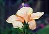 hibiscus_7969