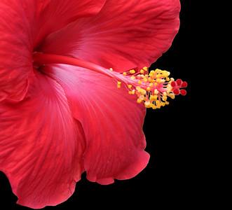 Hibiscus 2007