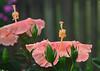 peach hibiscus_7871