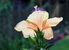 hibiscus7968