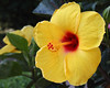hibiscus IMG_2490