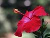 hibiscus IMG_5610 (2)