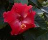 hibiscus IMG_7580