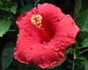 hibiscus IMG_3323