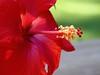 hibiscus IMG_3409